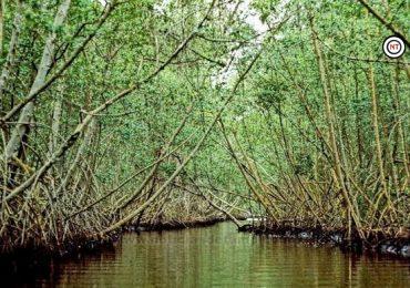 Podría en enero iniciar restauración de mangle de laguna del Carpintero