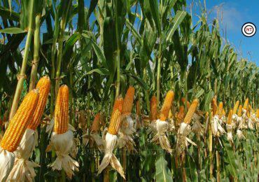 Mejora SAGALMEX apoyo a productores d maíz en Sinaloa
